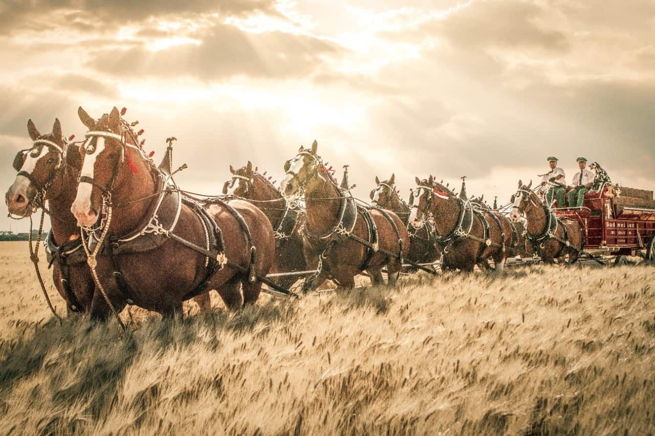 Clydesdales - MG 7900-Edit-1920x1920
